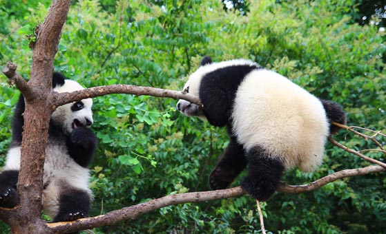 3 Days Singapore Chengdu Panda Tour