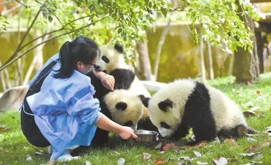 4 Days Singapore Chengdu Panda and Dujiangyan Volunteer Tour