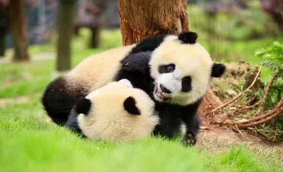4 Days Singapore Chengdu and Bifengxia Panda Volunteer Tour
