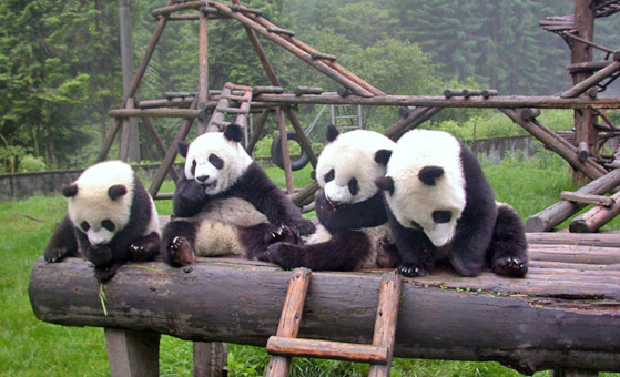 2 Days Chengdu Panda Tour with Airport Pick-up and Send-off