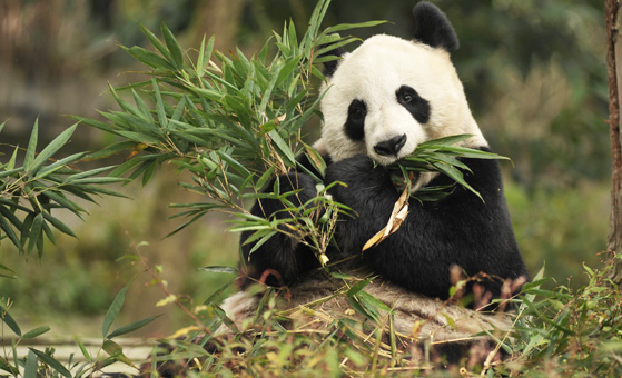 4 Days In-depth Bifengxia Panda Volunteer with Chengdu Charm