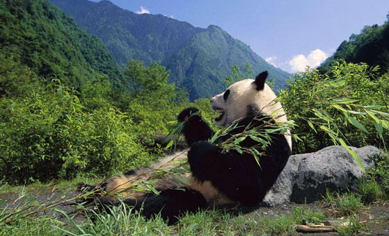 3 Days Chengdu and Dujiangyan Panda Holding Wolong Volunteer Tour