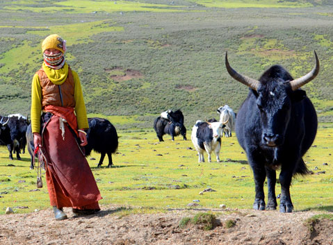 The Local Herdswoman and Yaks on Maoya Grassland