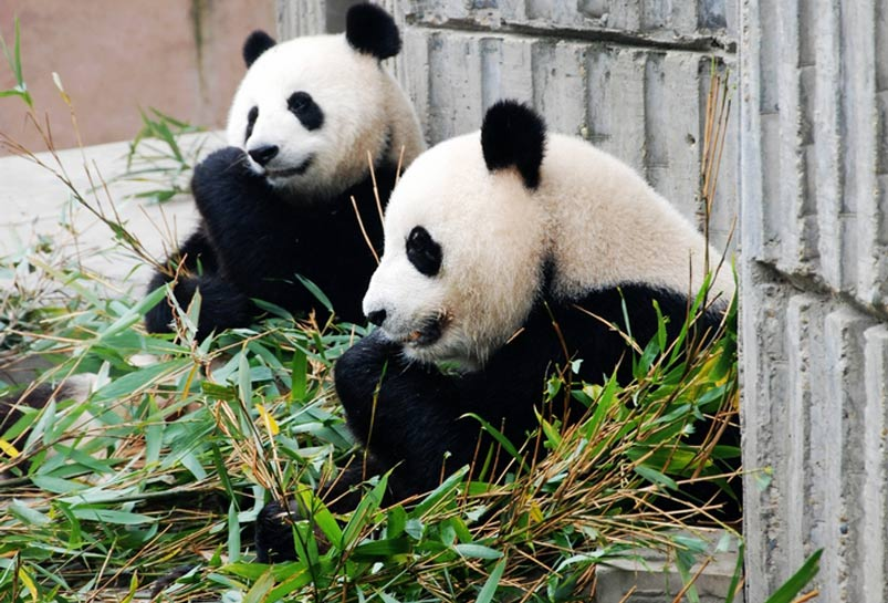 Giant Pandas are having Meal