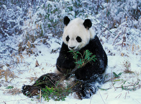Giant Panda in Winter
