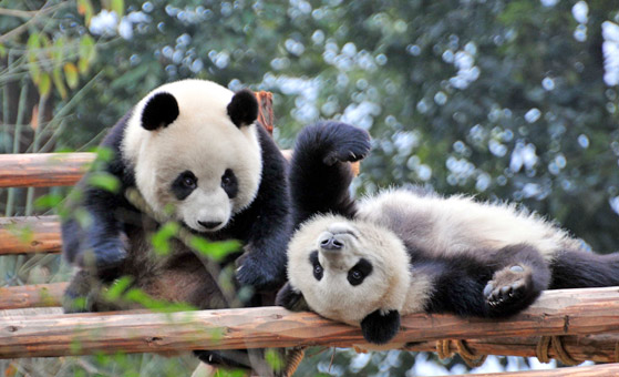 3 Days Chengdu Highlights & Giant Panda Tour
