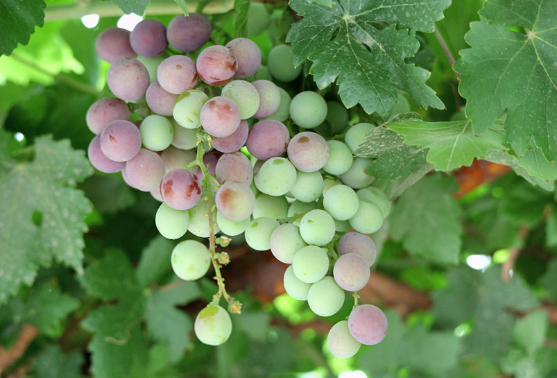 The Grape of the Grape Valley in Turpan