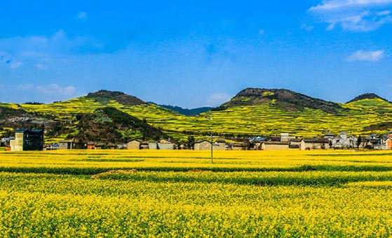 5 Days Yunnan Luoping Golden Canola Flower Tour