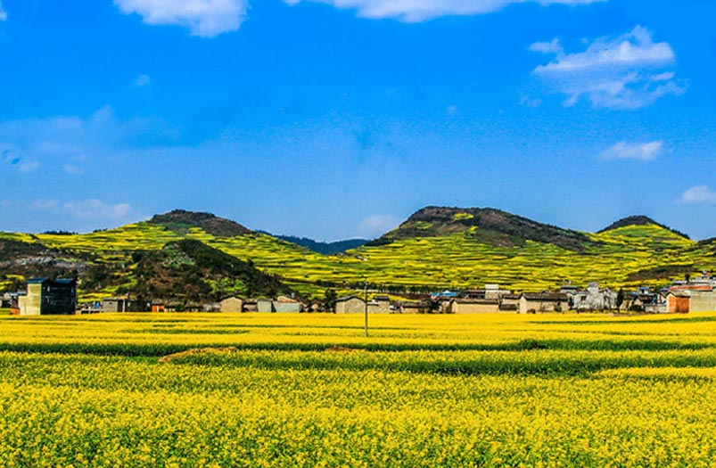 Yunnan Luoping Canola Flower Sea
