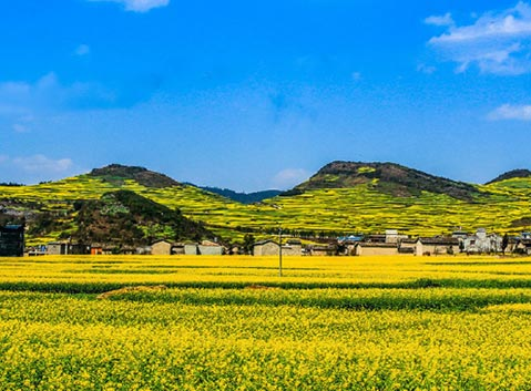 Golden Canola Flower in Luoping, Yunnan