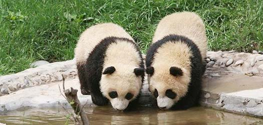 As the biggest panda base in the world, Bifengxia Panda Reserve, opened in 2003, is situated in Bifeng Gorge, Ya'an, where you can see pandas living in the natural environment.