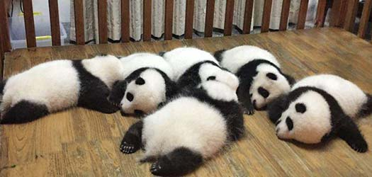 Chengdu Panda Breeding and Research Center is a famous tourist attraction for visitors to get close to pandas and have an intimate contact with them.