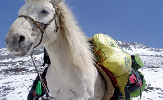 Local Horse for Packing the Equipment