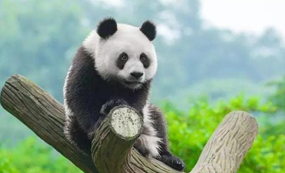 2 Days Dujiangyan Panda Tour