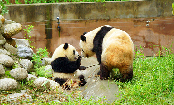 4 Days Chengdu Panda and Dujiangyan Volunteer Tour