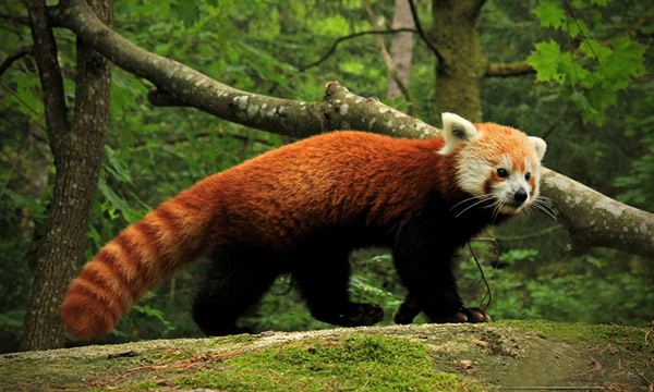 Image of: Facts Source Full Body Image Of Red Panda Steemit Endangered Species 4 The Red Panda Steemit