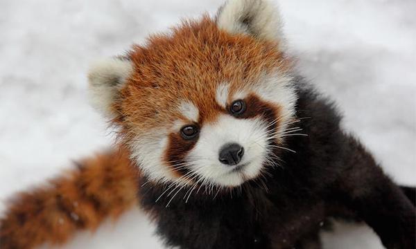 Image of: Endangered Animals Cute Red Panda Third Pole Tour Red Panda Facts Habitat Diet Photos Of Endangered Red Pandas