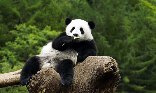 A Relaxed and Lazy Panda