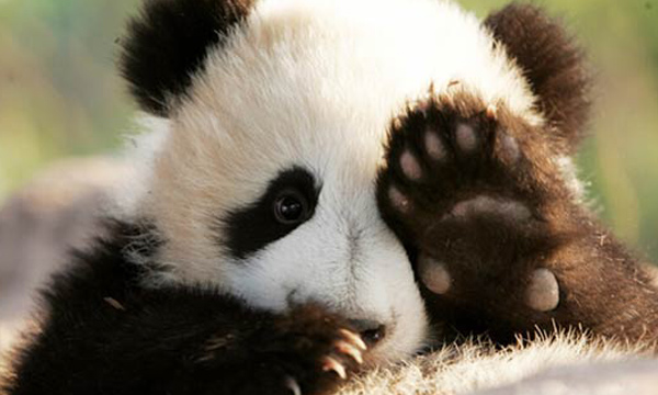 Giant Panda Facts, All Things about Giant Pandas