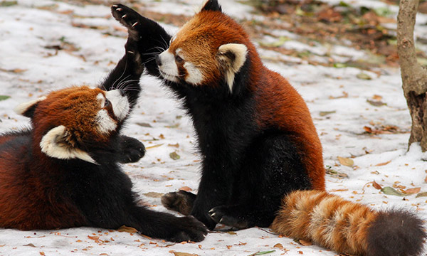 Image of: Ailurus Fulgens With Black Brown Fur The Red Pandas Four Limbs Are Short Third Pole Tour Red Panda Facts Habitat Diet Photos Of Endangered Red Pandas