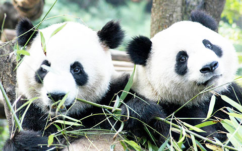 Giant Panda Travel Guide